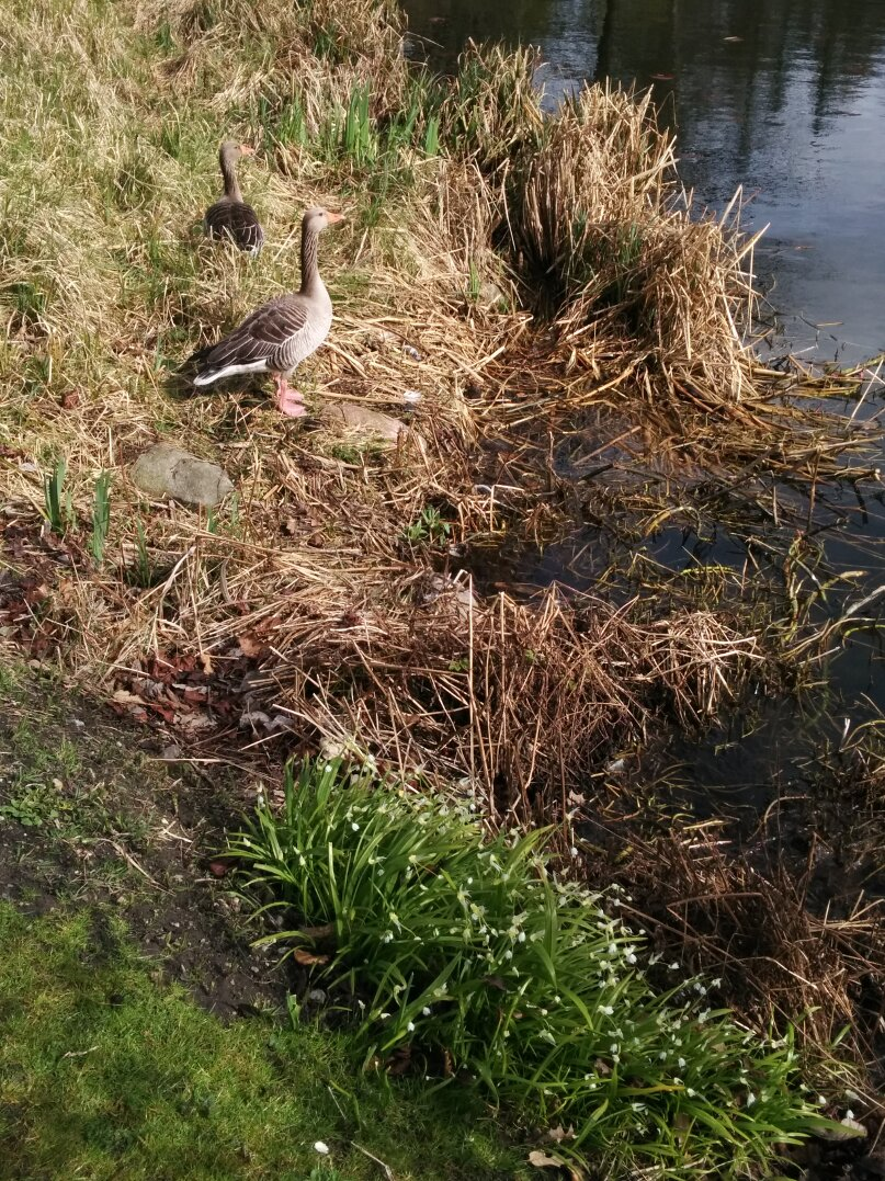 geese_and_allium