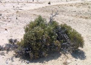 Arthraerua leubnitziae