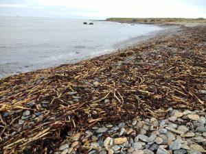 Kelp stems washed ashore